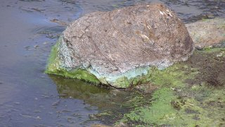 800px-Cyanobacterial_Scum