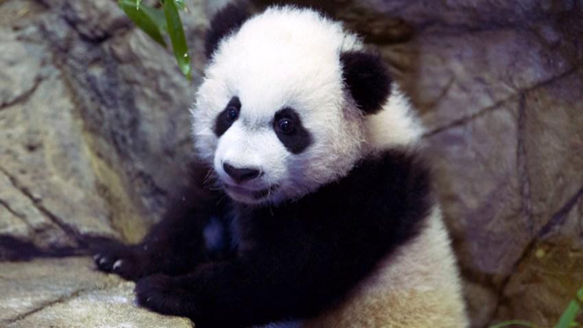 Panda-Surgery