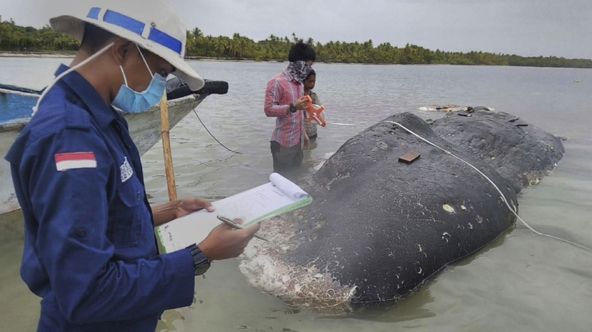 Indonesia Beached Whale