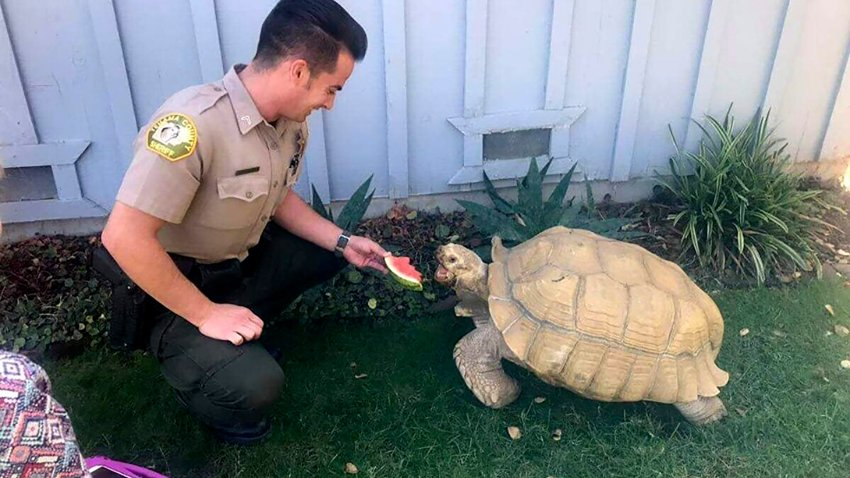 Wandering Tortoise