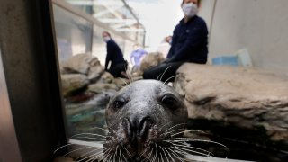 an Atlantic harbor seal, peeks out of an outdoor exhibit at the New England Aquarium in Boston.