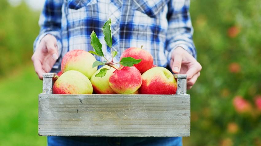 Apple-picking-shutterstock_401904943