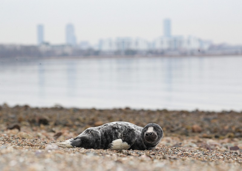 Gallery: Seal Spotted Ashore in Quincy