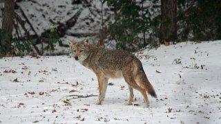 Ella Barber-coyote