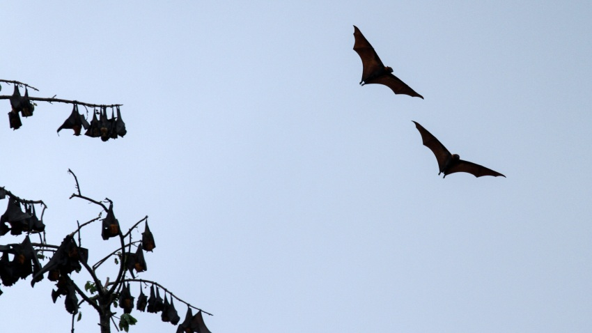 A group of giant fruit bats that are hung on trees during the day in Aceh Utara, on January 31, 2020, Aceh, Indonesia. Bats are animals that are considered to contain a lot of dangerous viruses, which are also thought to be the cause of the new coronavirus.