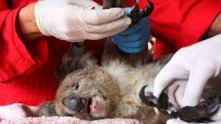 An injured koala is treated at the Kangaroo Island Wildlife Zoo on Jan. 10, 2020, in Kangaroo Island, Australia. The town of Kingscote was cut off last night as the Country Fire Service continued to battle a number of out-of-control blazes.