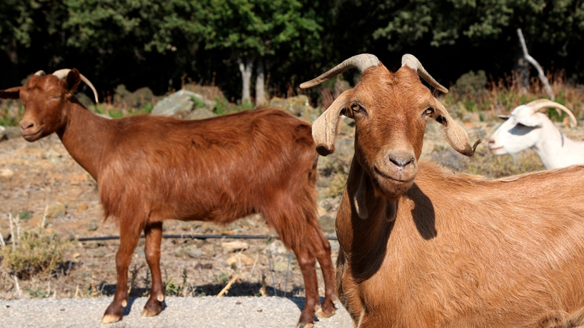 Greece Goats Gone Wild