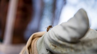 Beekeeper Erin Gleeson looks at a honey bee that landed on her glove, April 20, 2020, in Washington.