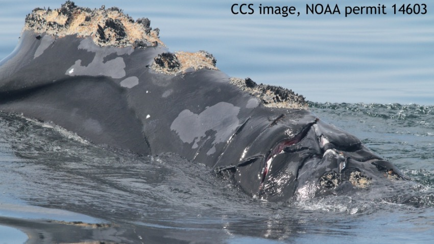 Injured Right Whale 050815