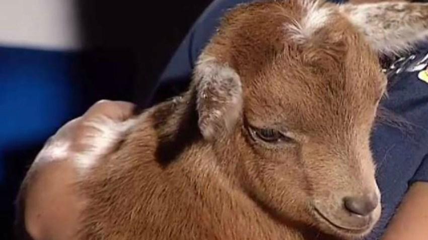 baby goat 421