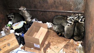 Brewster raccoons in dumpster