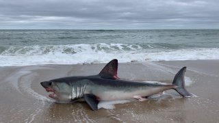 marconi beach shark porbeagle
