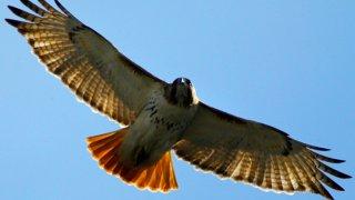Philadelphia Hawk Nest