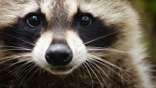 Close up of a raccoon's face