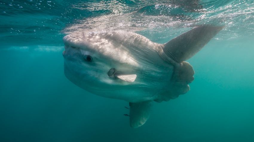A sunfish swims near the surface of the water