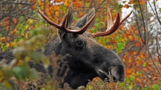 "[UGCNECN-CJ] Bull Moose ""Ready for The Rut"" Northern NH"