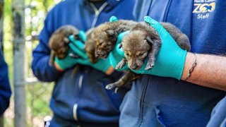 This May 14, 2021, photo provided by the North Carolina Zoo, in Asheboro, N.C., shows several of the American red wolf pups born at the zoo in late April. The American red wolves are critically endangered and number less than two dozen in the wild.