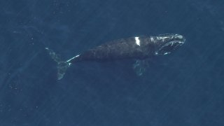 A North Atlantic right whale with healed entanglement wounds.