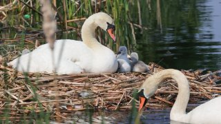 Swans watch over their cygnets on Boston's Charles River near the Esplanade on Wednesday, May 26, 2021.