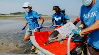 A dolphin is carried back to the water's edge in Cape Cod
