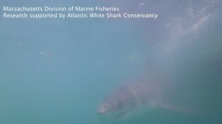 A white shark chases an underwater camera off Cape Cod, Massachusetts