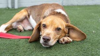beagle for rescue