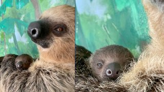 A baby sloth and its mother at the Stone Zoo in Stoneham, Massachusetts