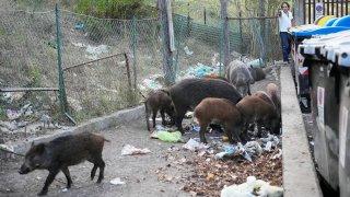 Wild boars eat garbage near trash bins in Rome, Sept. 24, 2021.