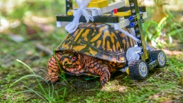 Injured Turtle Rolling to Recovery on Mini Lego Wheelchair