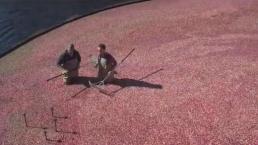 Harvesting Cranberries in Carver
