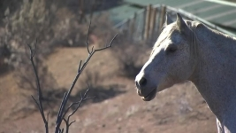Donovan the Stubborn Horse Stands His Ground During SoCal Fire