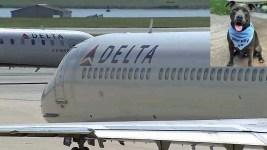 Delta Airlines Gets Backlash For Pit Bull Service Dog Ban