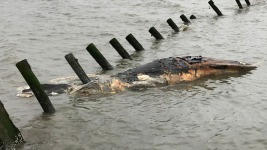 Scientists Investigate Large Number of Humpback Whale Deaths