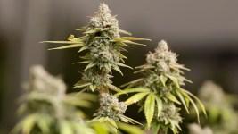Demand Grows for Marijuana Cultivation Courses