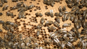 Sweet Home Nebraska: Honey Flows From Bee-Infested Attic