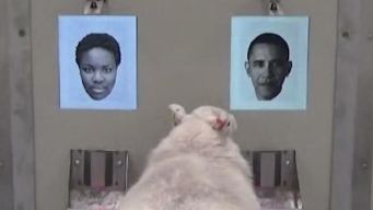 Baaaa-rack? Sheep Can Recognize Famous Faces, Study Finds