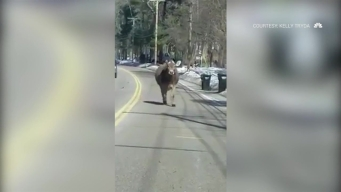 Loose Cow Casually Strolls Down Road
