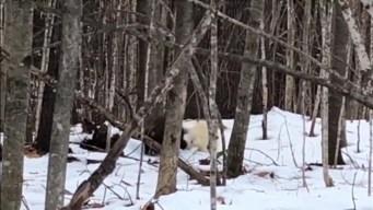 WATCH: Rare Albino Porcupine Waddles Through Maine Woods