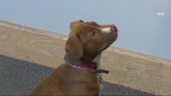 Puppy Finds Gun, Gets Honorary K9 Deputy Status