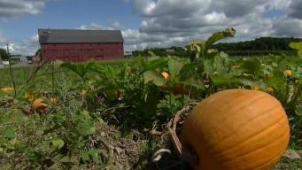 'Insta Gold' at Lookout Farm in Natick