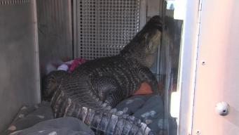 Huge Alligator Removed From Missouri Home
