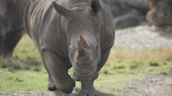 Child Survives Fall Into Rhino Pit