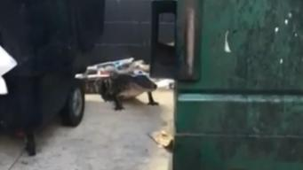 Cops Wrangle Trash Gator