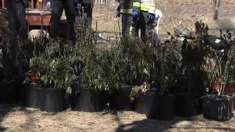Nearly 200 Marijuana Plants Found in Burning Walpole Basement