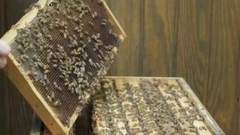 The Buzz on Boston Beekeeping