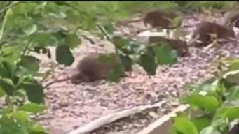 Town Official: Woman to Blame for Rat Problem