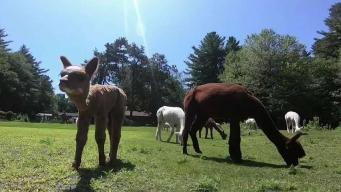 Uniquely New England: Harvard Alpaca Ranch
