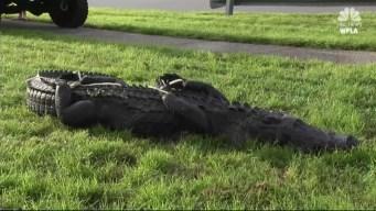 Alligator 'Fat Daddy' Attacks Florida Disc Golfer