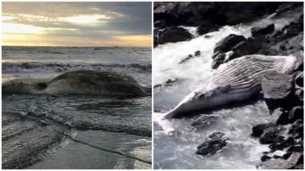 2 Whales Wash Ashore on Boston-Area Beaches