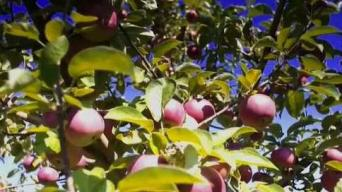 Apple Picking at Shelburne Orchards